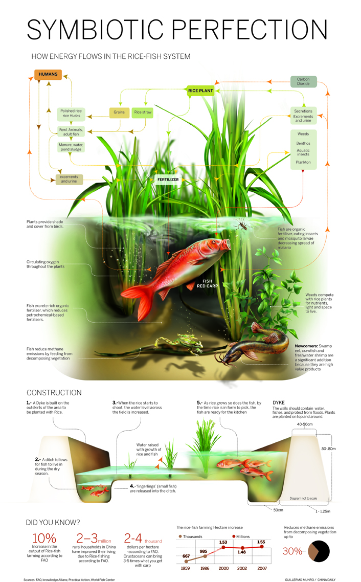 Symbiotic Perfection: How Energy Flows In The Rice-Fish